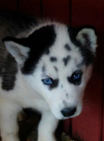 Siberian Husky Puppy Dog For Sale In Hillsboro Missouri
