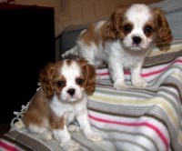 Cavalier King Charles puppies Cavalier King Charles Spaniel for sale/adoption