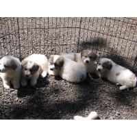 Great Pyrenees Pups Born 03/19/16 Great Pyrenees for sale/adoption