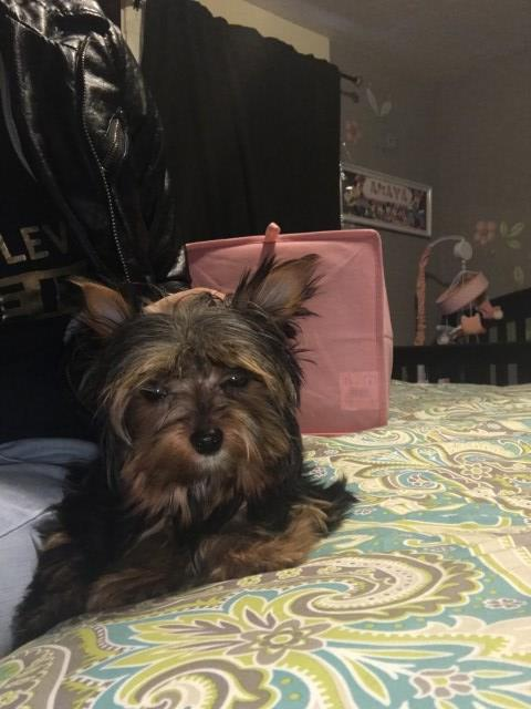 Yorkshire Terrier puppy for sale + 54652