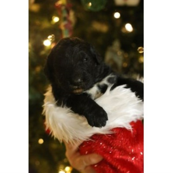 Bernedoodle Puppies For Sale (5 Females Left!)