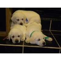 Yellow, Cream, Champaigne, And Fox Red Lab Puppies Labrador Retriever for sale/adoption