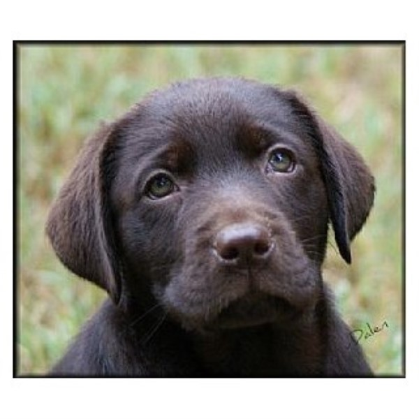 Labrador Retriever puppy for sale + 40277