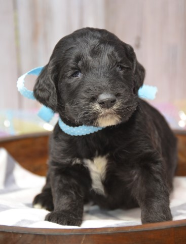 Goldendoodle puppy for sale + 60360