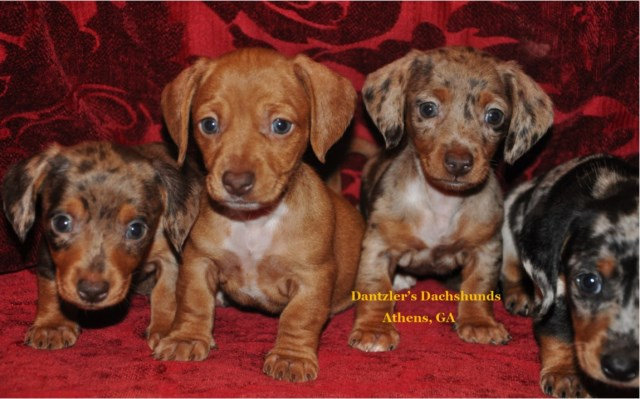 Dachshund puppy dog for sale in Athens, Georgia