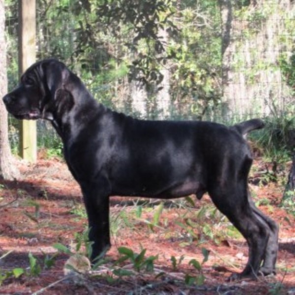 Gorgeous Black Brindle Male Cane Corso Cane Corso for sale/adoption