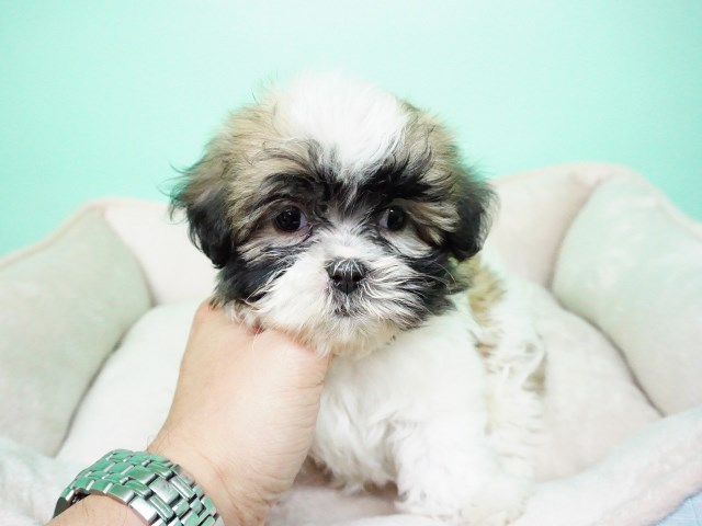 Maltese puppy for sale + 54653