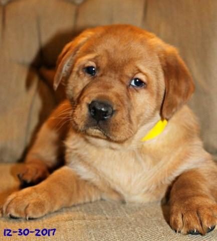 Labrador Retriever Puppy Dog For Sale In Bethel Pennsylvania