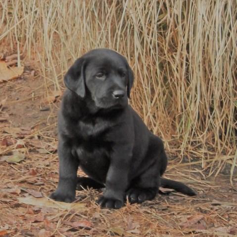Labrador Retriever puppy dog for sale in Sonora, Kentucky