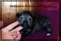 Miniature Schnauzer puppies that will be ready to go by Christmas!! Miniature Schnauzer for sale/adoption
