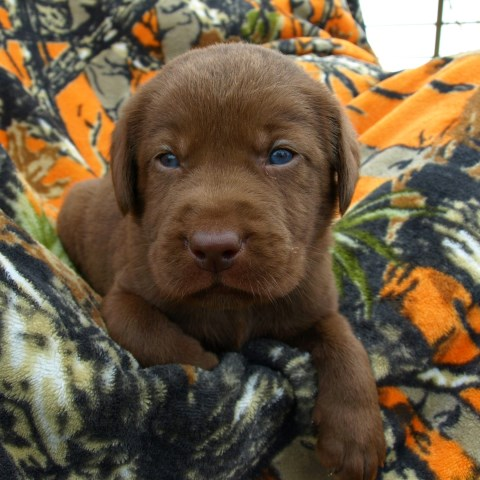 Labrador Retriever puppy dog for sale in Elizabethtown, Kentucky