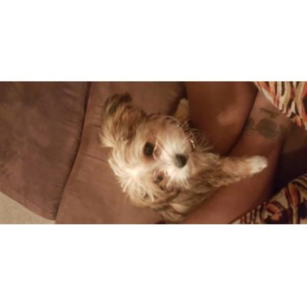 Yorkshire Terrier Puppy Dog For Sale In Orlando Florida