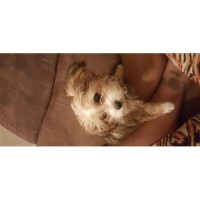 Shorkie Puppies For Sale Yorkshire Terrier for sale/adoption