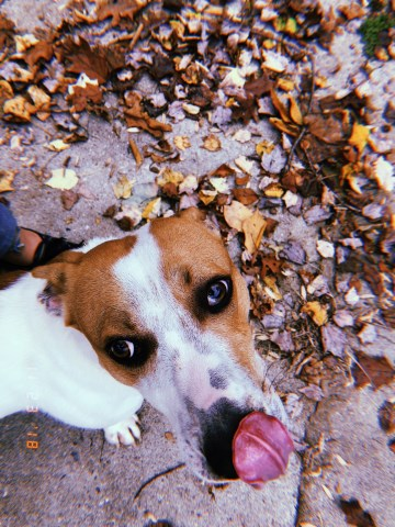 Dachshund Puppy Dog For Sale In Kernersville North Carolina
