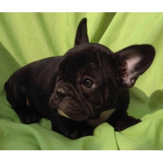 Adorable Home Breed AKC Frenchies