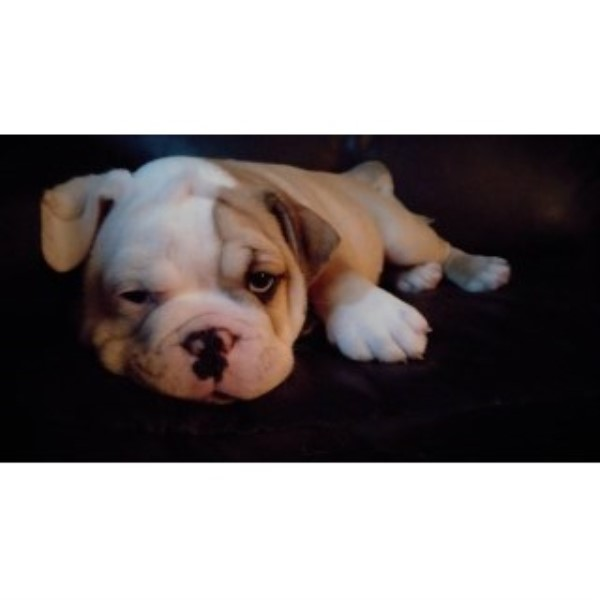 English Bulldogs Sterling Heights Michigan