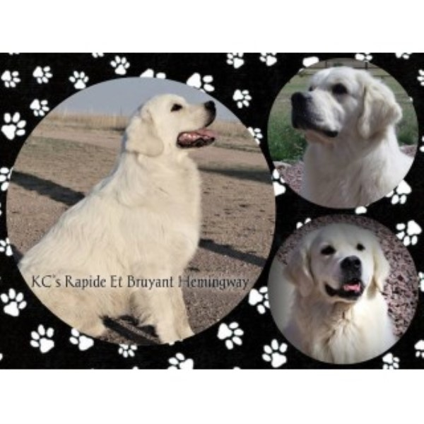English Cream Golden Retrievers--extensive Testing! Golden Retriever for sale/adoption