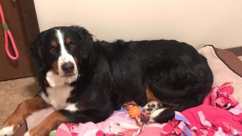 Bernese Mountain Dog Puppy Dog For Sale In Canton Ohio