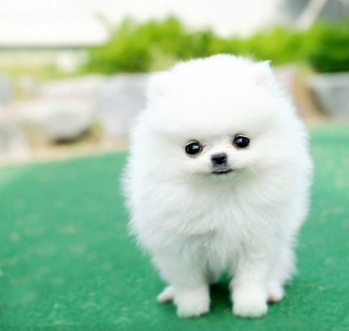 Pomeranian puppy dog for sale in Sacramento, California