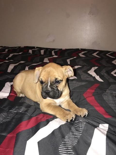 English Bulldog Puppy Dog For Sale In Phoenix Arizona