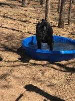 Solid black female Cane Corso Cane Corso for sale/adoption