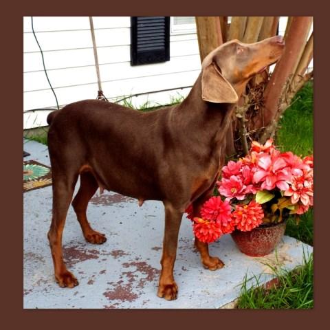 doberman pinscher puppy dog for sale in ocean springs mississippi