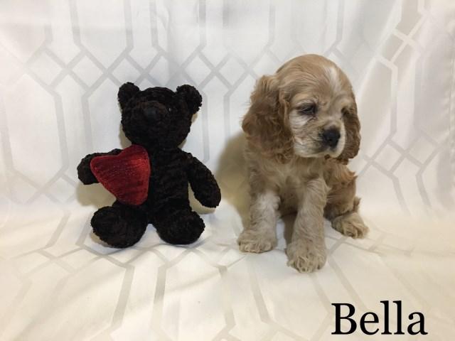 American Cocker Spaniel Puppy Dog For Sale In Roanoke Virginia