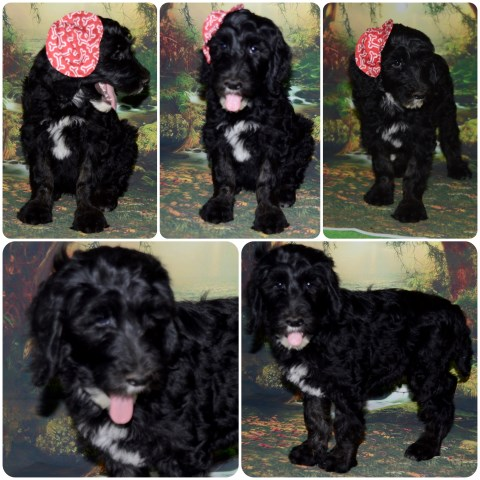 Labradoodle puppy dog for sale in Nigeria