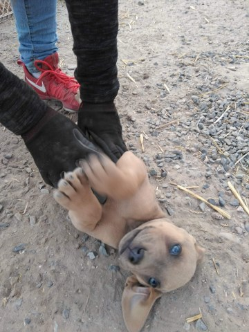 Cane Corso puppy dog for sale in Yakima, Washington