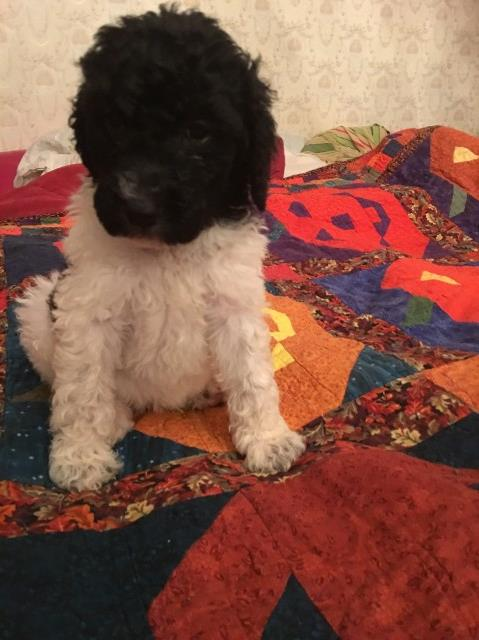 Goldendoodle puppy for sale + 53835