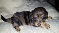 Long haired miniature dachshunds Dachshund for sale/adoption