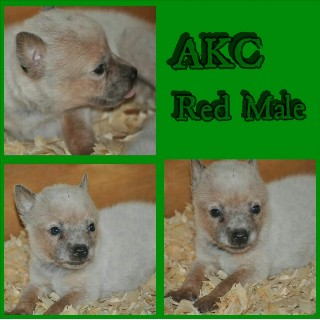 Australian Cattle Dog for sale in Conroe, Texas