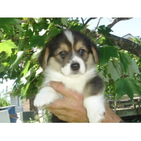 Pembroke Welsh Corgi puppies and dogs for sale and ...