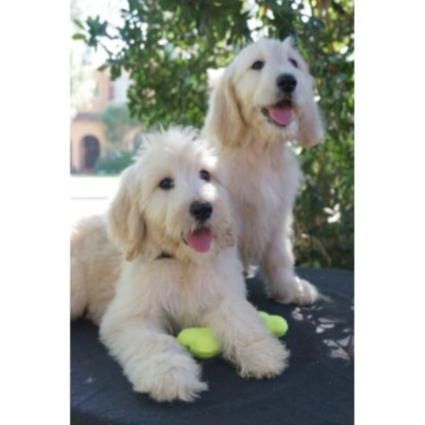 Goldendoodle Puppies Goldendoodle for sale/adoption