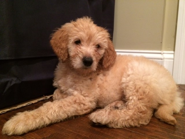 Goldendoodle Puppy Dog For Sale In New York New York