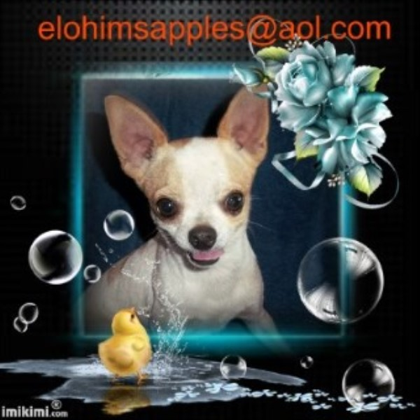 Young Adult Chihuahua Male  Spider Man Reduced Chihuahua for sale/adoption