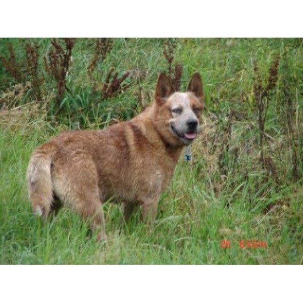 Fantastic 4 Yr Male, Registered Acd Or Heeler Australian Cattle Dog for sale/adoption