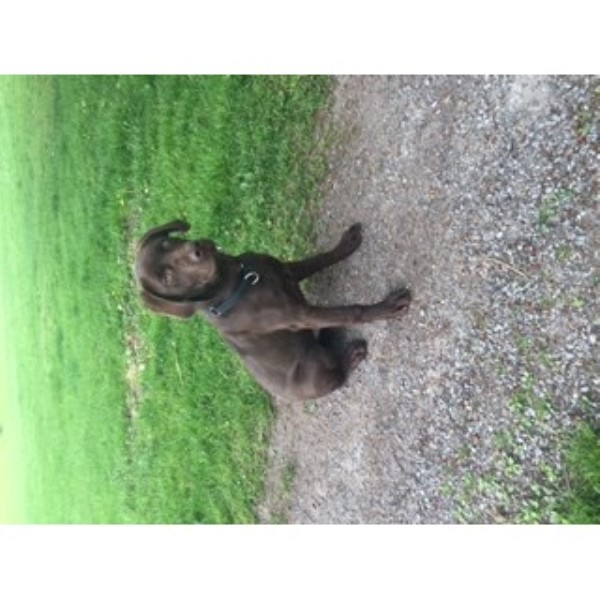 Chocolate Labrador In Search Of A Home Labrador Retriever for sale/adoption