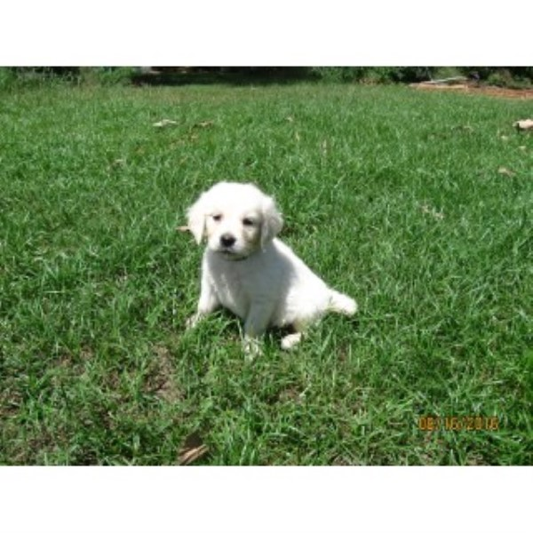 AKC English Creme Puppies Golden Retriever for sale/adoption