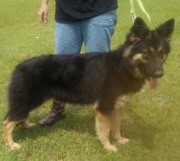 AKC German Shepherd Pups German Shepherd Dog for sale/adoption