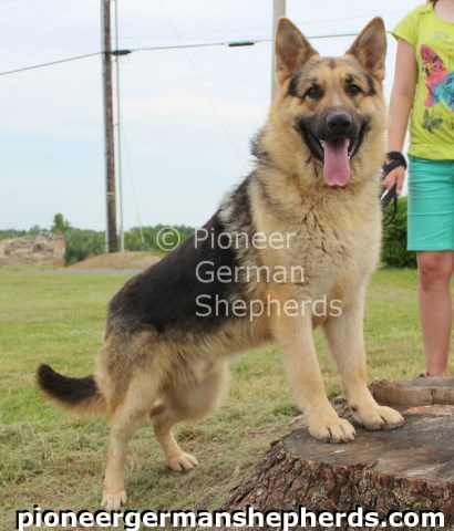 German Shepherd Dog puppy for sale + 54117