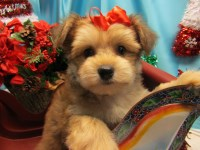 Havapoo Puppies. Nonshedding/Allergy Free.  Vet Checked. Havanese for sale/adoption