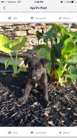Full Blooded German Shepard Puppies German Shepherd Dog for sale/adoption