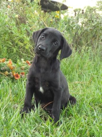 Black Labrador Retriever puppy dog for sale in Houston, Texas