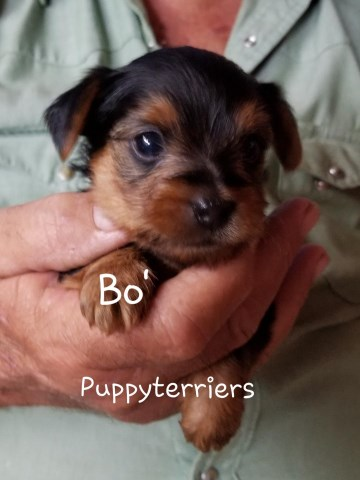 Yorkshire Terrier puppy for sale + 53758