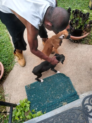 Boxer Puppy Dog For Sale In St Louis Missouri