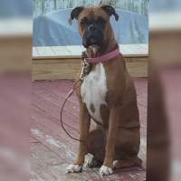 Akc Boxer Puppies for sale!! $1,000 Boxer for sale/adoption