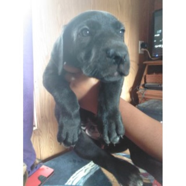 European Great Dane Puppies For Sale