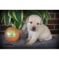 Yellow Lab Puppies For Sale ~ Champion Bloodllines Labrador Retriever for sale/adoption