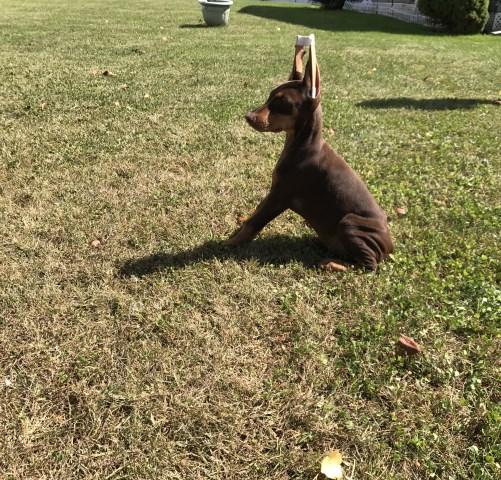Pictures of australian shepherd puppies for sale in morgantown wv